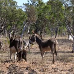 Feral donkeys