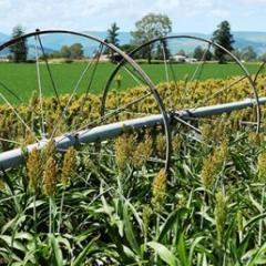 A sorghum crop